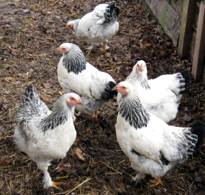 Light Brahma Pullets