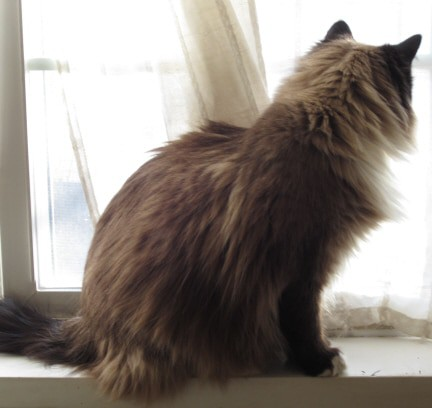 Long-Haired Cat, Side View